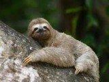 Centro de pesquisa luta para preservar o bicho-preguiça na Bahia