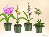 Cattleya, Oncidium, Brassia e Dendrobium