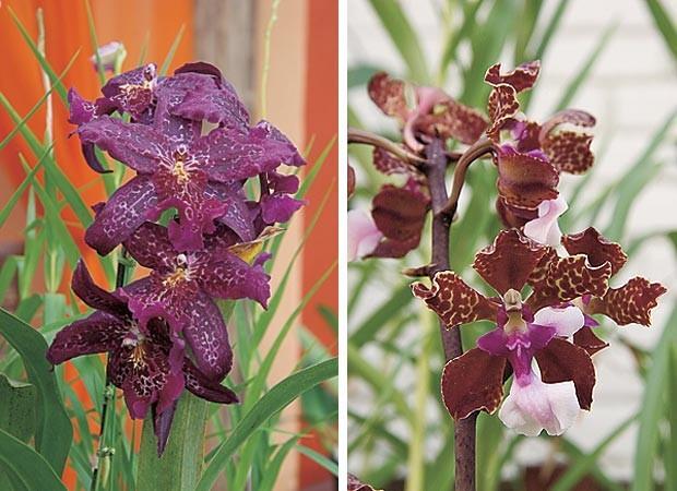 Beallara e Oncidium lawrencianum