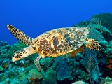 Tartaruga de Pente ou Legítima