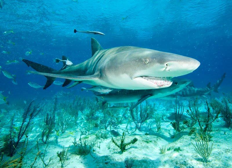 Tubarões no Arquipelago de Fernando de Noronha