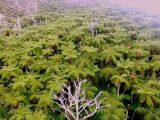 Samambaias gigantes decoram o ponto mais alto da Ilha da Trindade