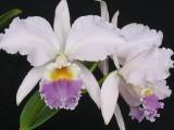 Selecionando Orquídeas