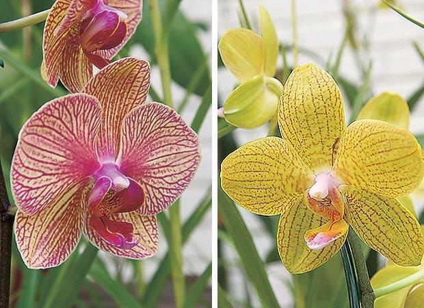 Phalaenopsis híbrida estriada e Phalaenopsis híbrida estriada