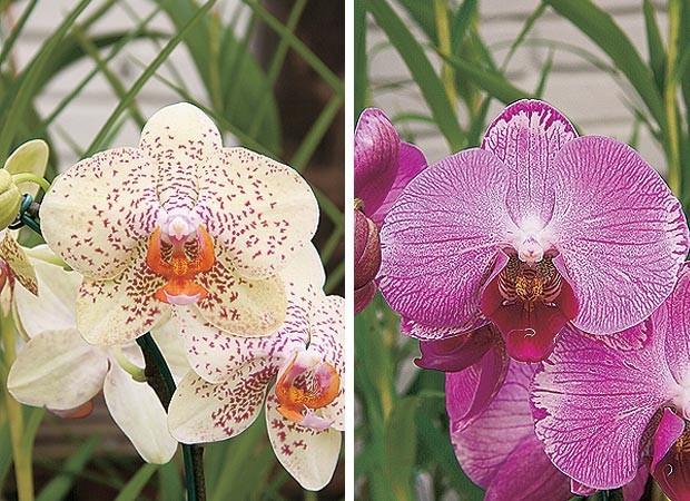 Phalaenopsis híbrida pintada e Phalaenopsis híbrida rosa