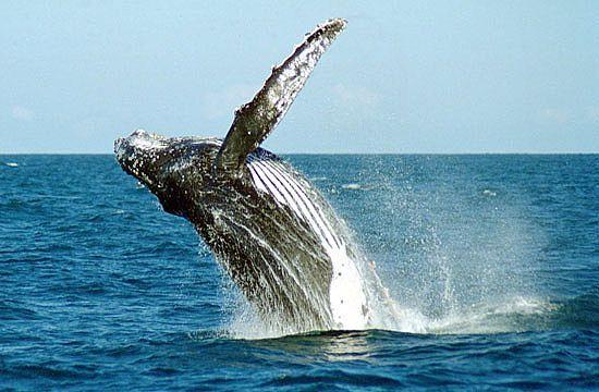 Abrolhos é o berço das Baleias Jubarte