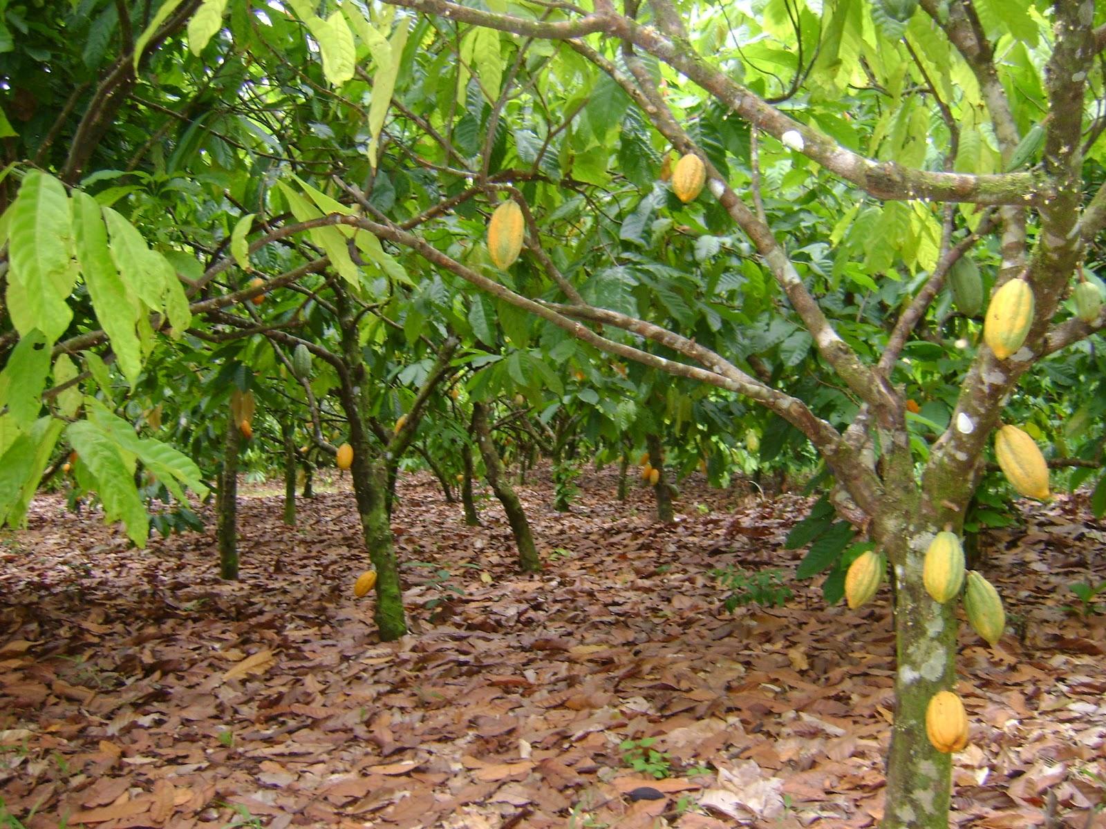 Caminhos do Chocolate na Costa do Cacau