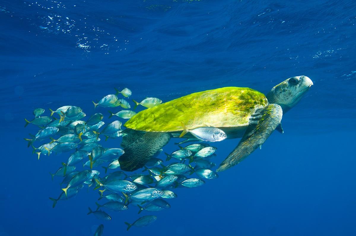 5 espécies de tartarugas marinhas encontradas no Brasil